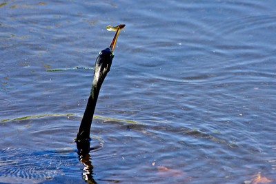 Anhinga, Wakodahatchee Wetlands, Delray Beach, Fla., March 9, 2014