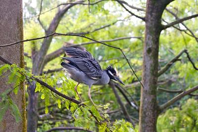 Yellow-crowned Night-Heron, Flamingo Gardens, Davie, Fla., September 2014.