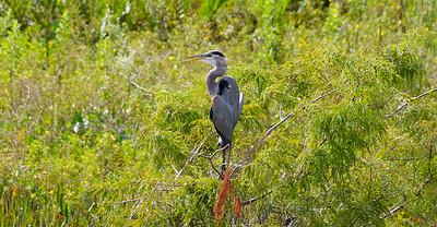 Great Blue Heron, Pembroke Pines, Fla.,  September 2014.