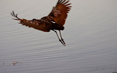 A limpkin flies off to join its buddy to continue to look for snails to eat. Pembroke Pines, Fla.. December 2014.