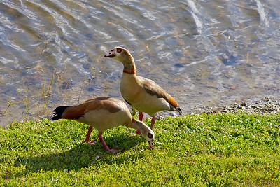 Egyptian Geese, Pembroke Pines, Fla., January 2015.