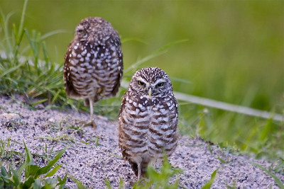 Burrowing Owls. Vista View Park, Davie, Fla., August 2015.
