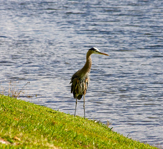 Great Blue Heron, Pembroke Pines, Fla., January 2014.