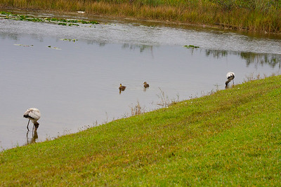 Juvenile wood storks look for food in the company of two ducks, Pembroke Pines, Fla., November 2014.