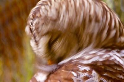 Barred Owl, Flamingo Gardens, Davie, Fla., September 2014.