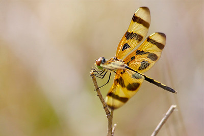 Dragonfly, Long Key Nature Preserve, Davie, Fla., March 2015.