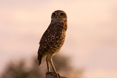 Burrowing Owl, Tree Tops Park, Davie, Fla., August 2014.