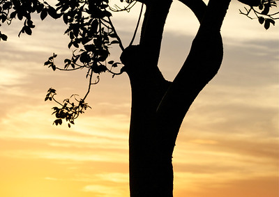 Another view of my favorite Gumbo Limbo Tree, evening, Pembroke Pines, Fla., November 2014.