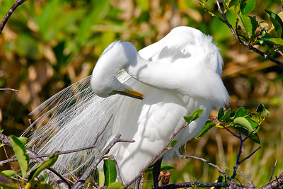 Egret,  Green Cay Wetlands, Boynton Beach, Fla., March 9, 2014.