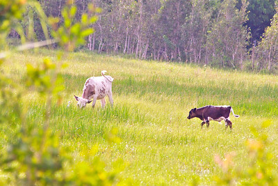 Cows graze in an open field next to Chapel Trail Nature Preserve, Pembroke Pines, Fla., July 2014.
