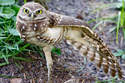"""Look at what I can do,"" Burrowing Owl, Pembroke Pines, Fla., July 2014."