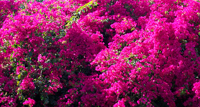 Bougainvillea, Fairchild Tropical Botanic Garden, Miami, Fla., March 2015.