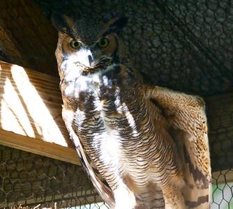 Great Horned Owl, Flamingo Gardens, Davie, Fla., September 2014.