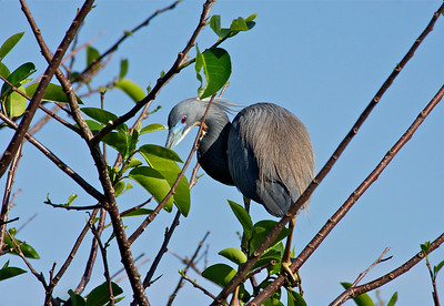 Blue Heron, Wakodahatchee Wetlands, Delray Beach, Fla., March 9, 2014