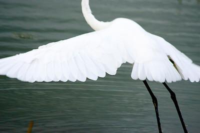 Egret, Green Cay Wetlands, Boynton Beach, Fla., October 2014.
