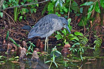 Heron, Green Cay Wetlands, Boynton Beach, Fla., October 2o14.