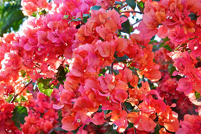 Beautiful bougainvillea, Fairchild Tropical Botanic Garden, March 2015.