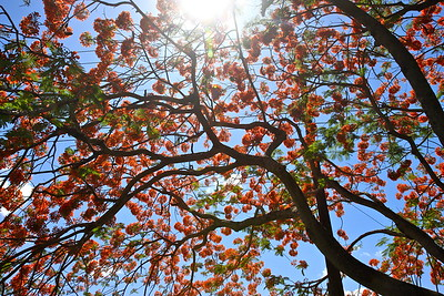 Royal Poinciana Tree in full bloom, Cooper City, Fla., May 2015. #spring2015