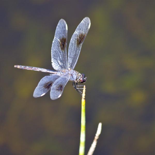 (Blue Dasher?) Dragonfly, Long Key Nature Preserve, Davie, Fla., May 2015.