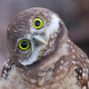 A (sweeeet and very curious) Burrowing Owl, Pembroke Pines, Fla., May 13, 2014.