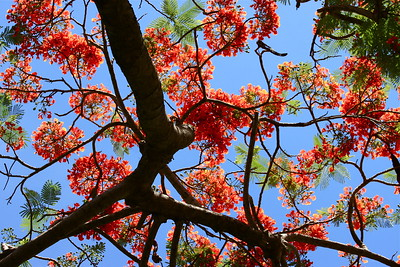 """Air Jordan."" Royal Poinciana Tree, Cooper City, Fla, May 2015."