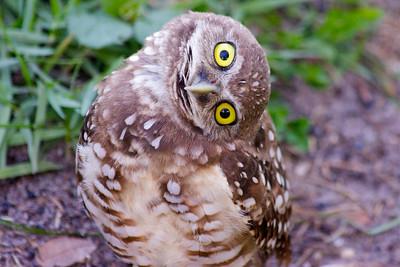 A curious Burrowing Owl (love it!), Pembroke Pines, July 2014.