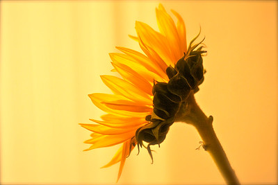 Sunflower, in the light. March 2015.