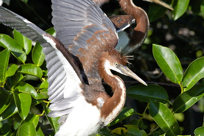 Juvenile Tri-Colored Heron, Wakodahatchee Wetlands, Delray Beach, Fla., May 2015.