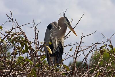 Great Blue Heron, Wakodahatchee Wetlands, Delray Beach, Fla., January 2015.