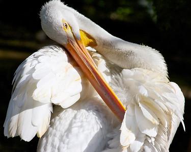Pelican, Flamingo Gardens, Fla., Davie, Fla., September 2014.