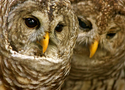 Barred Owls, Flamingo Gardens, Davie, Fla., September 2014.
