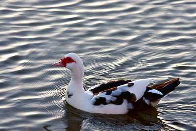 Muscovy duck, Evening, Pembroke Pines, Fla., November 2014.
