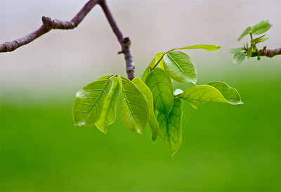 """New Growth."" Leaves, Gumbo Limbo Tree, Pembroke Pines, Fla., April 2015."