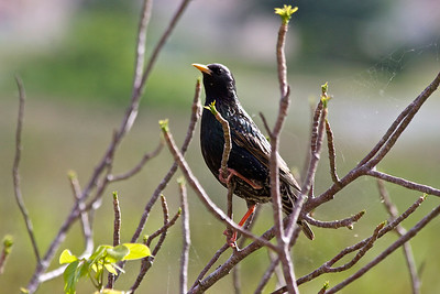 A Starling sits in the Gumbo Limbo Tree, Pembroke Pines, April 2015.