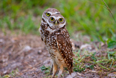 Burrowing owls, Pembroke Pines, Fla. May 13, 2014