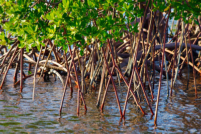 Mangroves,  Anne Kolb Nature Center, Hollywood, Fla., November 2014.