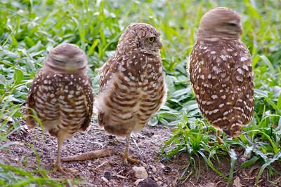 Three little birds, two swiveling heads. Pembroke Pines, Fla., July 2014.