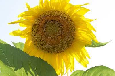 Sunflower shines in the sun, June 2014.