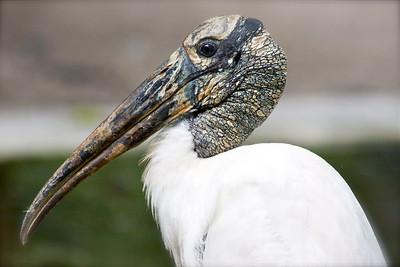 Wood stork, Flamingo Gardens, Davie, Fla., September 2014.