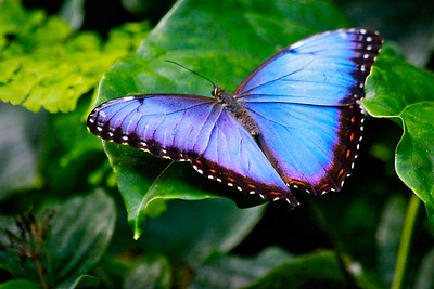 Blue Morpho Butterfly, Fairchild Tropical Botanic Garden, March 2015.