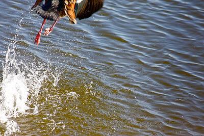 A startled Egyptian Goose makes a break for it. Pembroke Pines, Fla., February 2015.