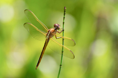 Dragonfly, West Pines Soccer Park & Nature Preserve, Pembroke Pines, Fla., July 2014.