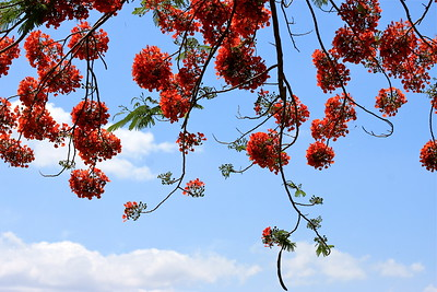 Royal Poinciana Tree, Cooper City, Fla., May 2015.