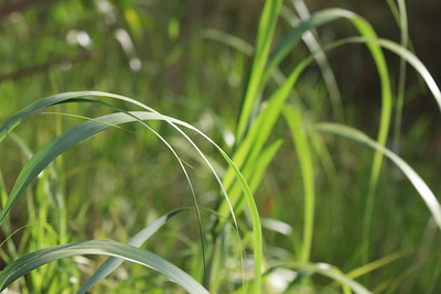 Summer grasses, Chapel Trail Nature Preserve, June 2014.