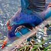 Purple Swamp Hen pileup