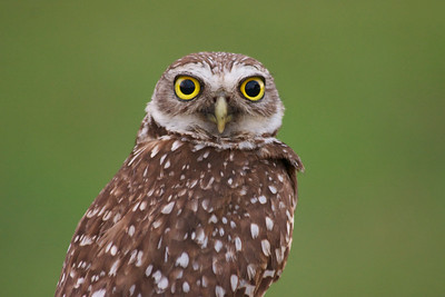 I *love* burrowing owls so much!