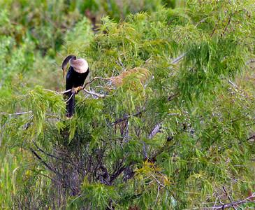 Anhinga, Pembroke Pines, Fla., September 2014.