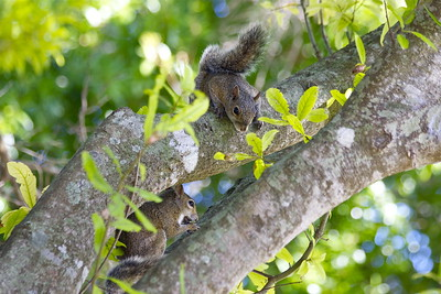Squirrels, Wakodahatchee Wetlands, Delray Beach, Fla., May 2015.