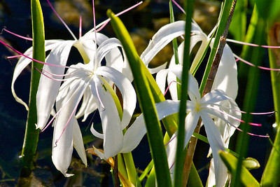 Swamp lilies and a little grasshopper, Tree Tops Park, Davie, Fla., July 2014.