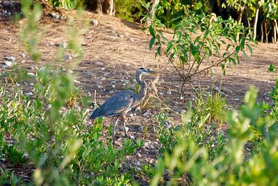 Great Blue Heron, Anne Kolb Nature Center, Hollywood, Fla., November 2014.